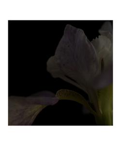 Iris I © Fleur Olby