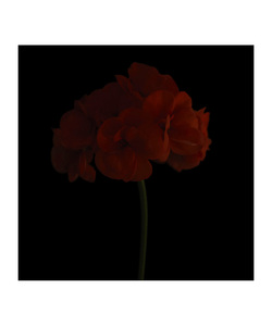 Pelargonium © Fleur Olby
