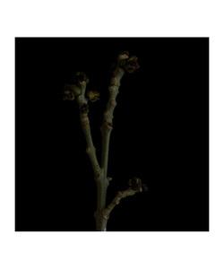 Fraxinus excelsior © Fleur Olby