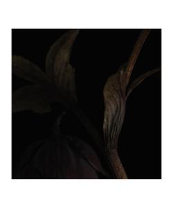 Helleborus II © Fleur Olby
