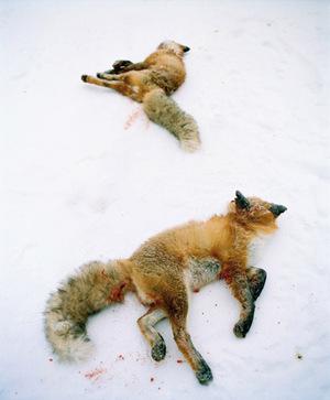 Dead foxes © Eva Persson