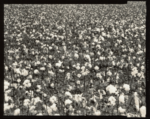 © Radek Skrivanek, Cotton field, near Turkestan