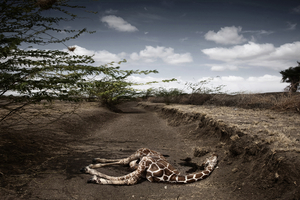 2nd prize Contemporary Issues Singles. © Stefano De Luigi, Italy, VII Network for Le Monde Magazine. Giraffe killed by drought, northeast Kenya, September
