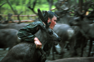 © Evgenia Arbugaeva, Ayran catching young reindeer. Iengra August 07