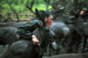 Ayran catching young reindeer. Iengra. August, 2007 © Evgenia Arbugaeva