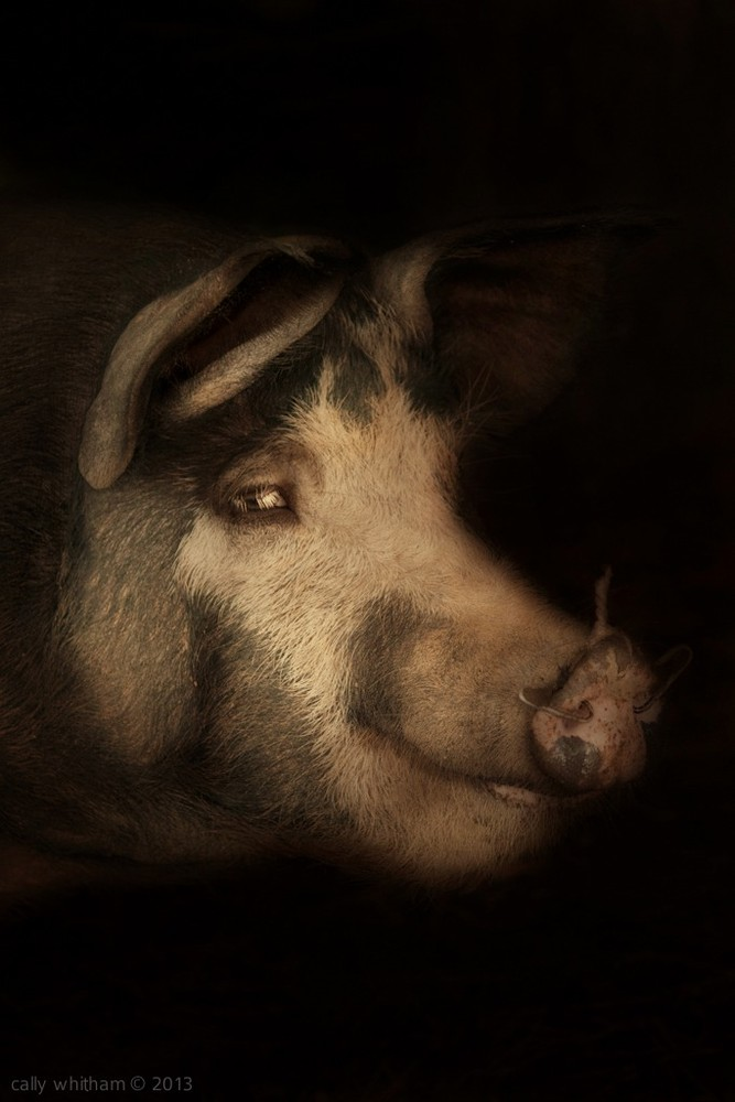 "Wessex Cross Sow. From the series ""Epitaph"" © Cally Whitham"