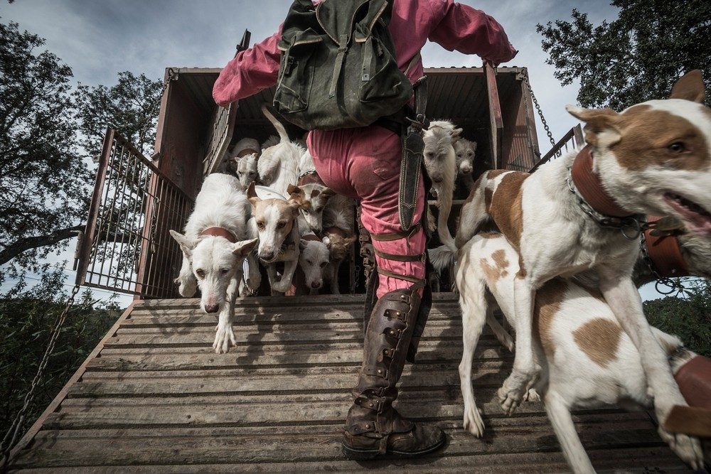 Nelson Cristeta, da Matilha Tempestade, na solta dos cães para iniciar a montaria.Montaria na Herdade da Defesinha, Redondo. Novembro 2013 © Antonio Pedrosa