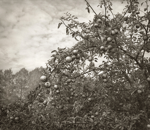 "Apples, Sissinghurst, 18.5x16"" Platinum Palladium © Beth Dow"