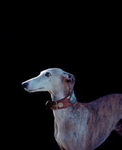 """Greyhound. From the exhibition """"Kainuu"""" © Jussi Sarkilahti"""