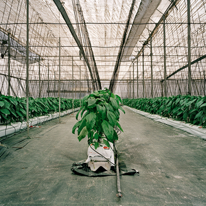 Pepper plants growing in a hydroponics set up. El Ejido, Almeria. © Reinaldo Loureiro