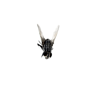 "Common fly, from ""bejewelled carcasses: beauty beyond death"" © Patricia Pastore"