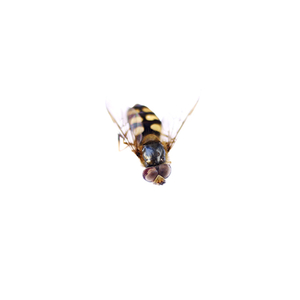 "Hoverfly 2, from ""bejewelled carcasses: beauty beyond death"" © Patricia Pastore"