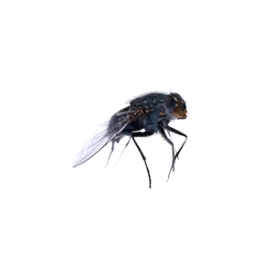 "House fly, from ""bejewelled carcasses: beauty beyond death"" © Patricia Pastore"