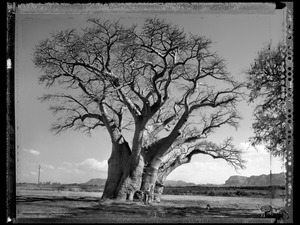 Baobab 13 Limpopo S. Africa 2009 © Elaine Ling