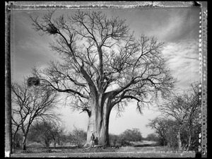 Baobab 14 Limpopo S. Africa 2009 © Elaine Ling