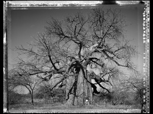 Baobab 19 Limpopo S. Africa 2009 © Elaine Ling