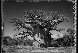 Baobab 24 Madagascar 2010 © Elaine Ling