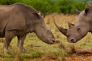 1st prize Nature Stories: © Brent Stirton, South Africa, Reportage by Getty Images for National Geographic magazine. Rhino Wars, Tugela Private Game Reserve, Colenso, Natal, South Africa, 9 November 2010. A female rhino in Natal, South Africa, that four months earlier survived a brutal dehorning by poachers who used a chainsaw to remove her horns.
