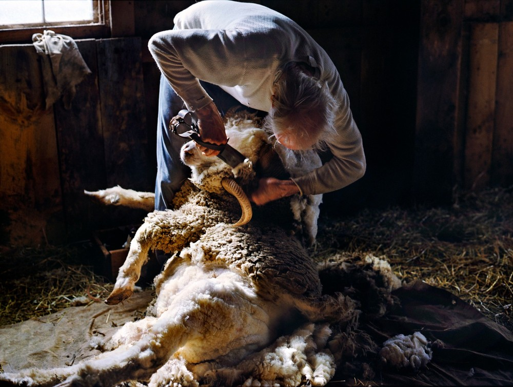 "After Oedipus, Shearing Day. From the series ""Pioneer Valley"" © Holly Lynton"