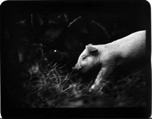 """Untitled"" (Pig), 2008 © Giacomo Brunelli"