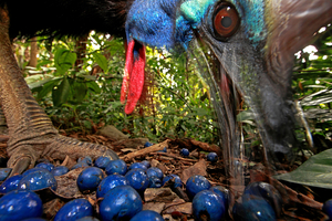 1st Prize Nature Single © Christian Ziegler, Germany. Southern Cassowary, Australia. 16 November 2012, Black Mountain Road, Australia. The endangered Southern Cassowary feeds on the fruit of the Blue Quandang tree. Cassowaries are a keystone species in northern Australian rainforests because of their ability to carry so many big seeds such long distances.