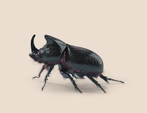 RHINO BEETLE [Oryctes transmissionis] Insect adapted to continuous tracking