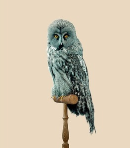 GREAT GREY OWL [Strix predatoris] Predator-resistant feathers