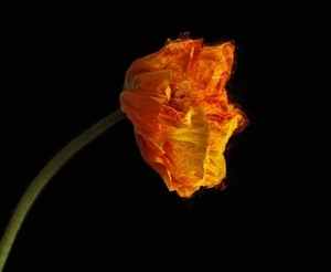 RED POPPY [Ignis Ubinanae] Flower with fiery plasma