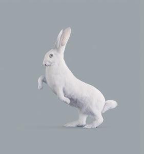 RABBIT [Oryctolagus cognitivus] Very intelligent rabbit