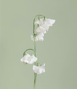 SWEET PEA [Lathyrus gemmae] Actual flower jewellery