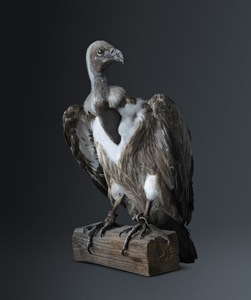 VULTURE [Cathartidae peek-a-boo] Passer-through-walls bird