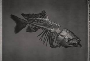 Common Carp, Cyprinus carpio