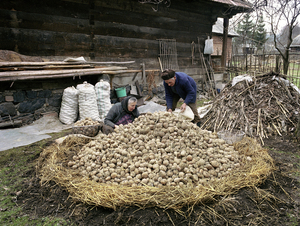 Potato Pile, Sirbi, 2003. Potatoes can be stored through the winter in a hole outside under a pile of straw. During the course of the year, theyll be turned twice and scraped free of sprouts to keep them crispy.  © Kathleen Laraia McLaughlin.