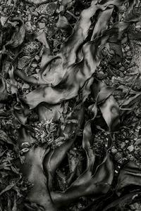 Seaweed 570, Seawall, Maine © Alan Henriksen