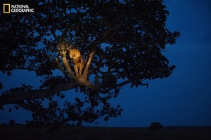 A lion climbs a tree to sleep, in Uganda's Queen Elizabeth Park. From the October 125th anniversary issue of National Geographic magazine © Joel Sartore/National Geographic