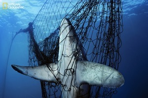 Snared and doomed by a gill net, a thresher shark is among an estimated 40 million sharks killed each year just for their fins. Drawing attention to this unsustainable practice has led some countries to ban the trade of shark fins, considered a delicacy in Asia. From the October 125th anniversary issue of National Geographic magazine © Brian Skerry/National Geographic