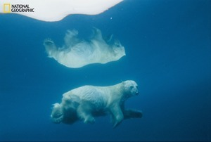 Its image mirrored in icy water, a polar bear travels submerged—a tactic often used to surprise prey. Scientists fear global warming could drive bears to extinction sometime this century. From the October 125th anniversary issue of National Geographic magazine © Paul Nicklen/National Geographic