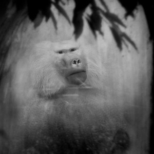 Baboon © Anne Berry
