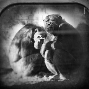 Chimpanzees © Anne Berry