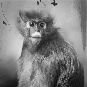 Spectacled Langur © Anne Berry