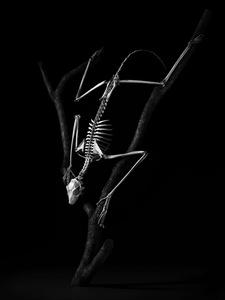 Flying lemur. Cynocephalus volans. Southest Asia (L. 53 cm) © Patrick Gries