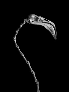 Greater flamingo. Phoenicopterus ruber. Africa, America, Eurasia ( h. 1,20 m) © Patrick Gries
