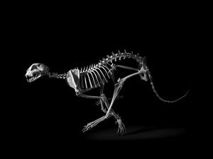 Cheetah. Acynonyx jubatus. Sub-Saharan Africa, Middle East (s. h. 70 cm) © Patrick Gries