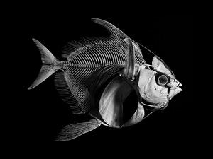 Opah. Lampris Guttatus. Western Atlantic Ocean (L. 1,10 m) © Patrick Gries