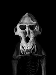 Mandrill. Mandrillus sphinx. Sub-Saharan Africa (80 cm) © Patrick Gries