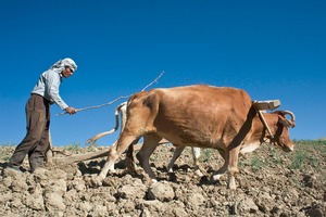 © Iva Zimova. A farmer encourages a pair of bullocks to pull a plough.