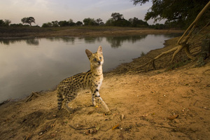 1st prize Nature Singles, © Michael Nichols, USA, National Geographic Magazine, Serval cat, Zakouma National Park, Chad