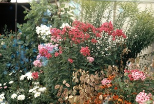 "Bill's Sweet William. From the exhibition ""Landscapes"" © Tom Wood"