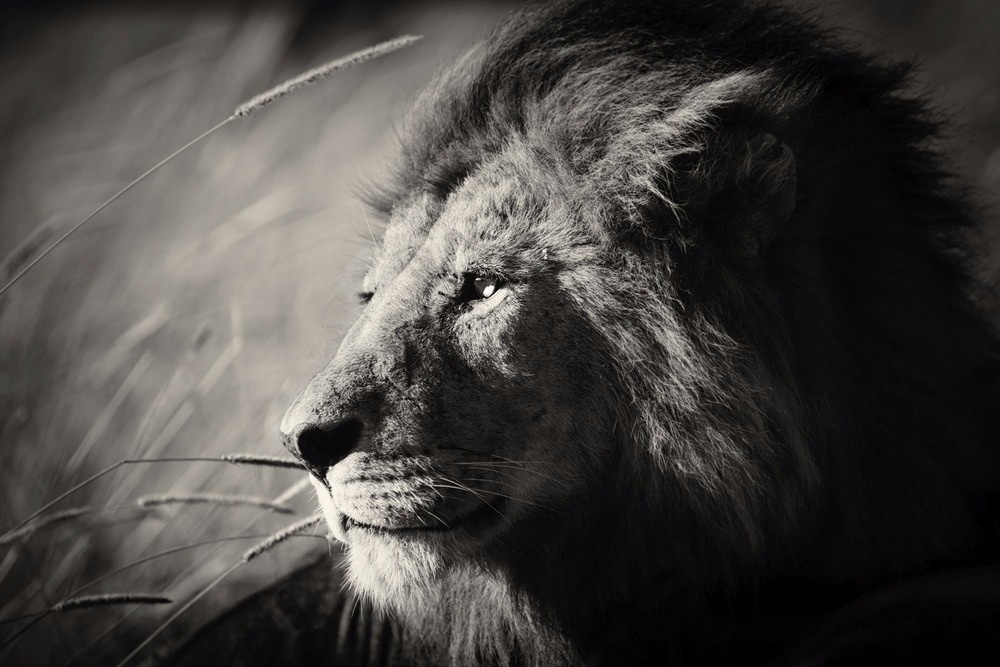 """Portrait of a king."" A pride leader is resting in the grass on an early morning in Serengeti, Tanzania."