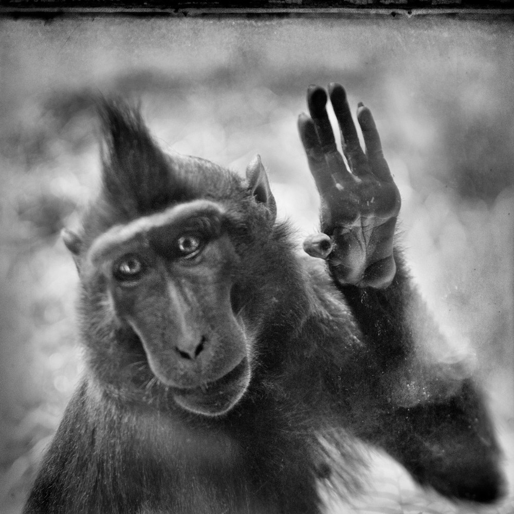 "Macaque, from the series ""Behind Glass"" © Anne Berry. Finalist, LensCulture Exposure Awards 2013."